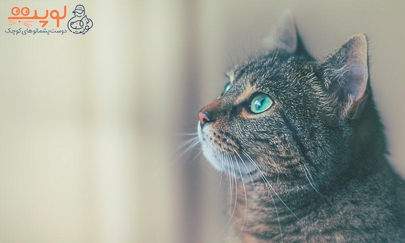 گربه چشم سبز زیبا