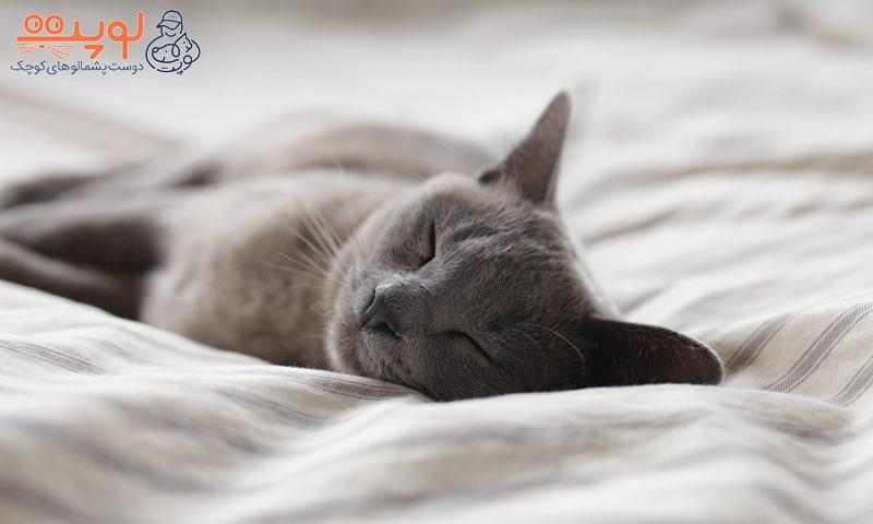 گربه خاکستری خوابیده