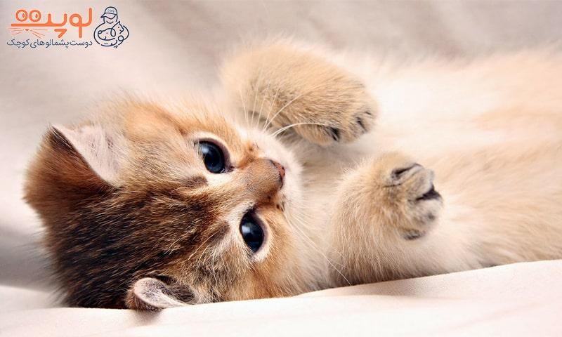 بچه گربه طلایی بامزه