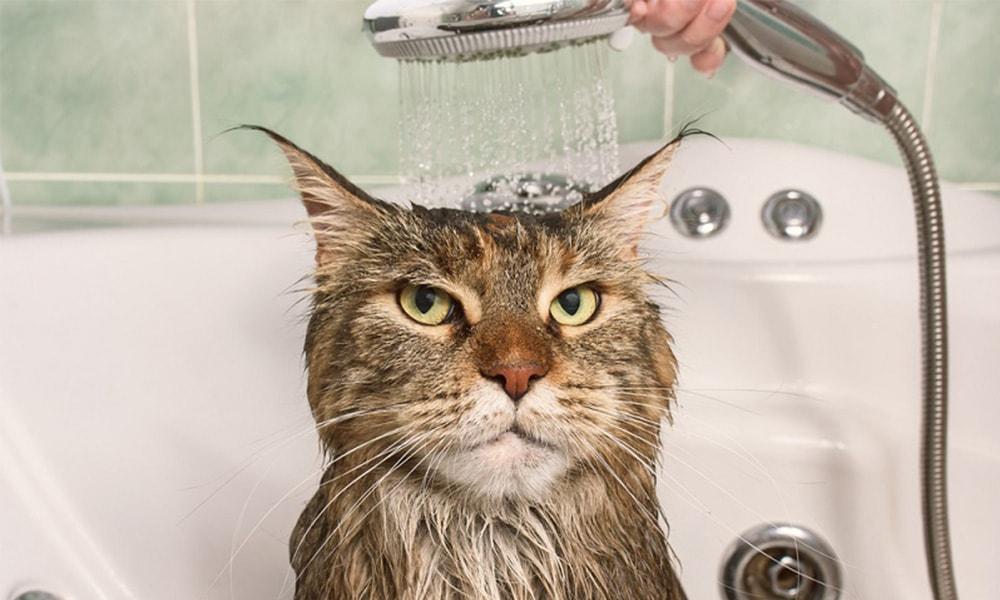 حمام کردن گربه ها