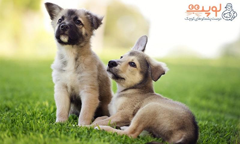 دوتا سگ در چمن