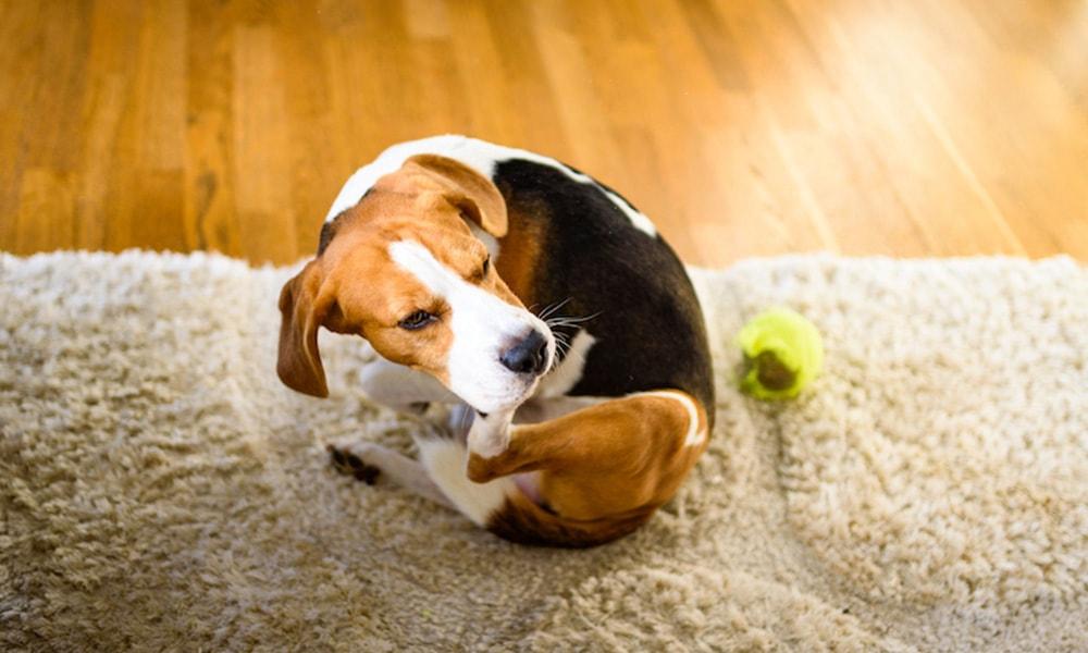 بیماری های پوستی سگ ها