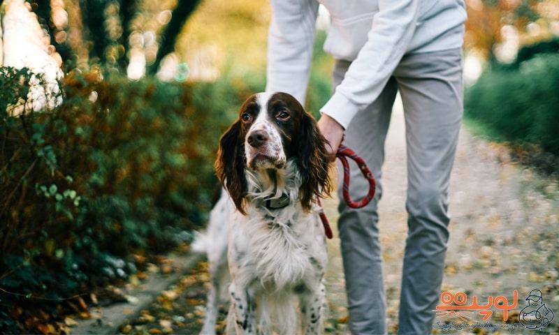 سگ در حال قدم زدن با صاحبش