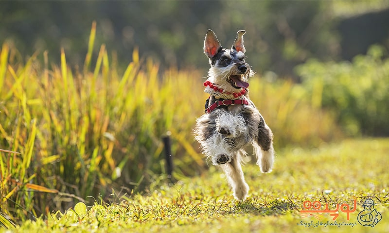 سگ در گردش