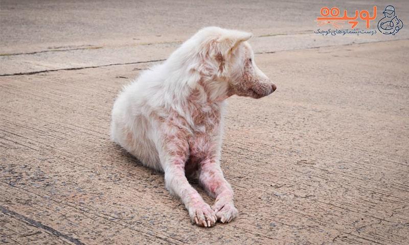قرمزی پوست سگ