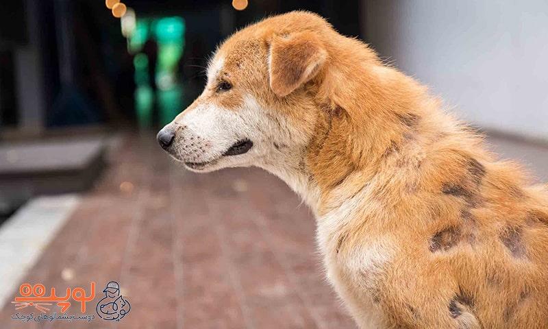 کچلی پوست سگ