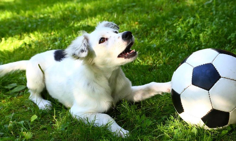 نژادهای سگ برای ورزشکاران