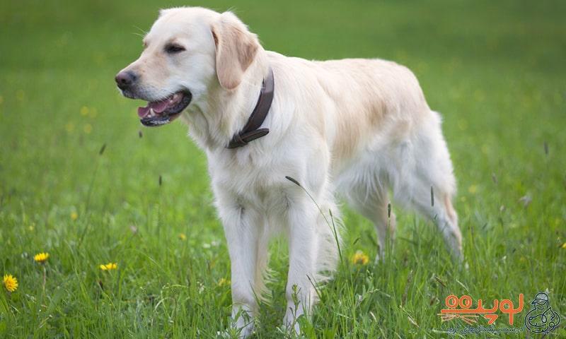سگ گلدن رتریور