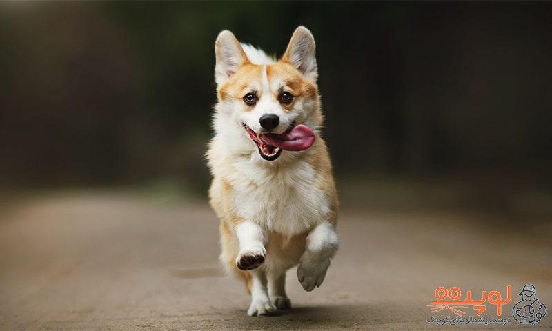 سگ گرجی در حال دویدن