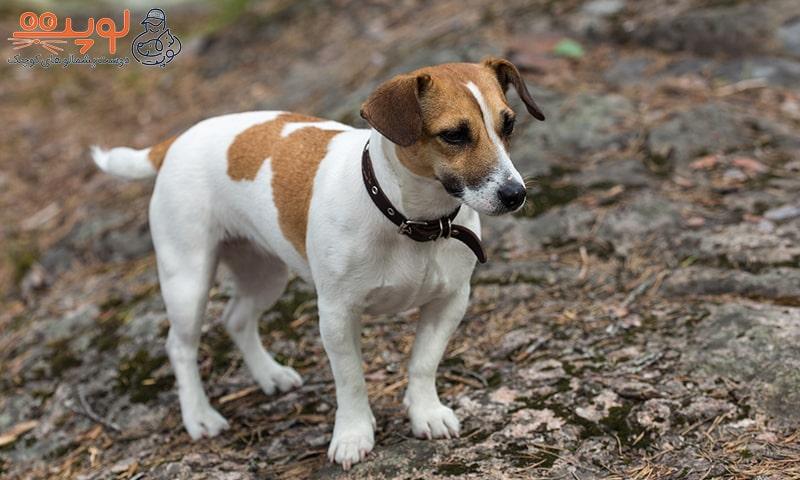 سگ جک راسل تریر
