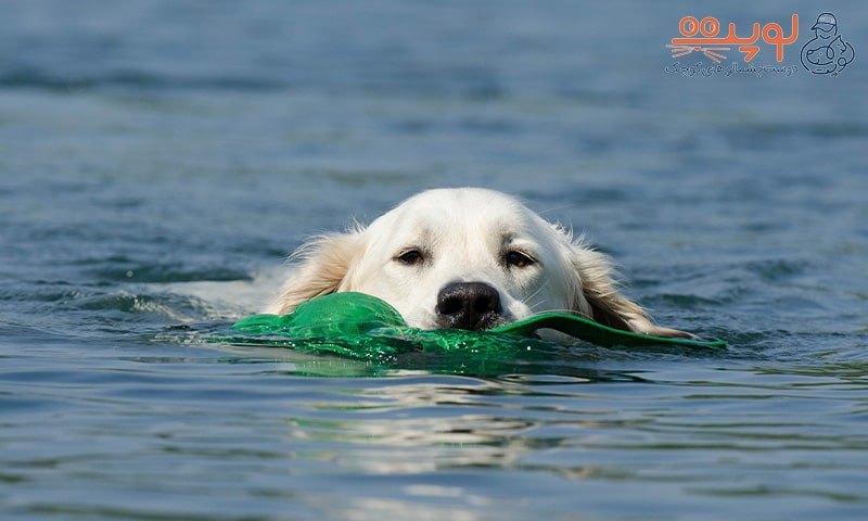 گلدن در حال شنا