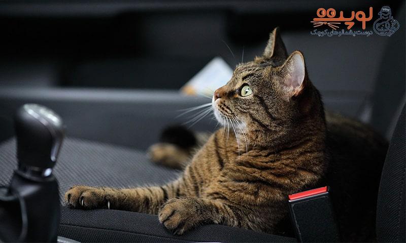 گربه در ماشین