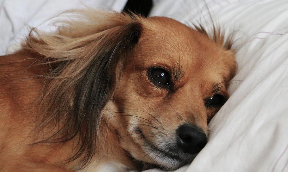 بیماری در سگ ها