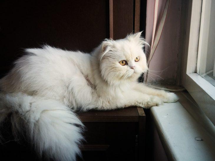 گربه پرشین (Persian Cat)