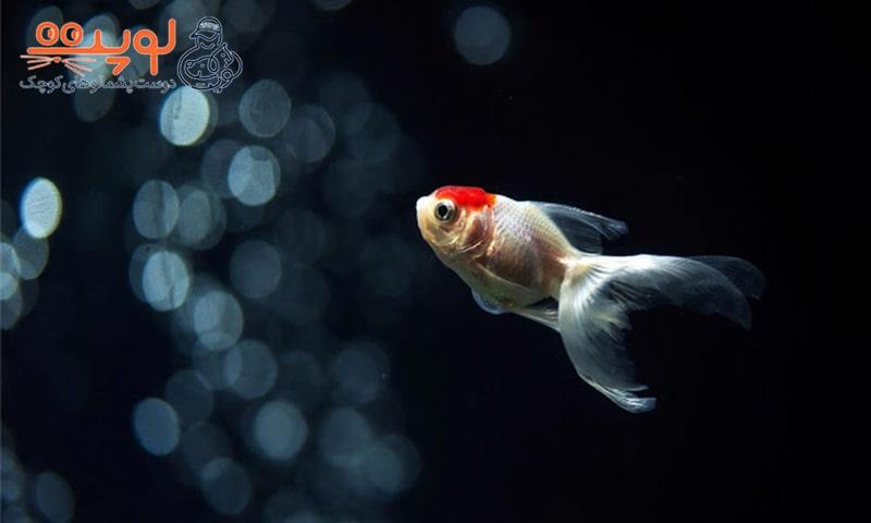 5 دلیل که چرا نباید ماهی قرمز بخریم؟!