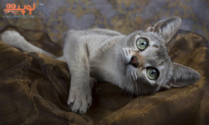 صاحب گربه